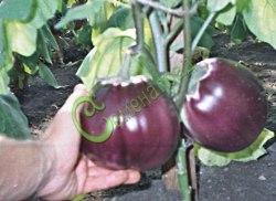 Семена баклажана Японский ранний - 10 семян - грушевидный, тёмно-фиолетовый красавец
