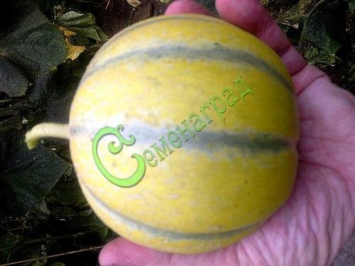 Семена дыни Дыня-арбуз - 1 уп.-4 семени - сверхранняя, сладкая, жёлтая, сегментированная дынька для средней полосы. Семенаград - семена почтой