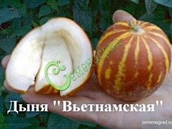 Семена дыни Дыня «Вьетнамская» - миниатюрная (100-200 г), с сильнейшим ароматом и вкусом лучших туркменских дынь, эдакие светящиеся оранжевые фонарики в полоску, урожайнейшая. Семенаград - семена почтой