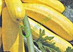 Семена цуккини Цуккини «Золотистый» - очень известный, в рекомендациях не нуждается. Семенаград - семена почтой
