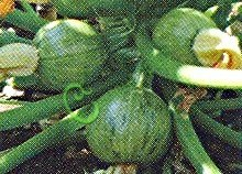 Семена цуккини Цуккини «Карам», выведен в США - круглый, вкусный. Семенаград - семена почтой