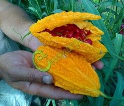 Семена момордики Момордика Харантия - однолетняя лиана, плоды очень декоративны, применяют в пищу в незрелом виде. Семенаград - семена почтой