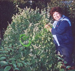 Семена Эхиноцистис лопастный - 5 семян - однолетник, лиановидное растение, цветки обладают тонким медовым ароматом