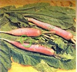 Семена Дайкон (японская редька-редис) - 10 семян, перспективная и неприхотливая овощная культура. На вкус сладкая. Вес до 3,5 кг.