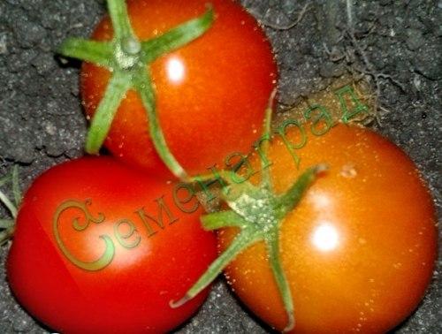 Семена томатов Суб-Арктик Пленти - низкорослый, ранний, до 30 г, очень урожайный. Семенаград - семена почтой