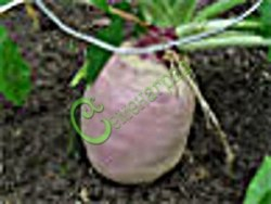 """Семена брюквы Брюква """"Новгородская"""", 1 уп.-1 чайн.ложка - витаминный корнеплод округло-удлинённой формы с сочной нежной мякотью жёлтого цвета, применяемый в свежем и переработанном виде. Отлично хранится в зимний период. Семенаград - семена почтой"""