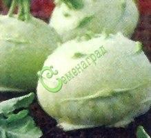 Семена капусты кольраби «Гулливер» - 10 семян - по содержанию белка и витаминов занимает среди капуст ведущее положение