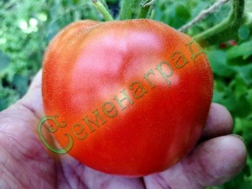 """Семена томатов Той Бой (""""Маленький мальчик"""") - низкорослый, ранний, до 100 г, урожайный Семенаград - семена почтой"""