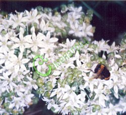 Семена Лук душистый «Звездочёт» - 30 семян, многолетний, с неострым, слабочесночным вкусом, ранний, легко переносит несколько срезок