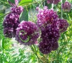 Семена Лук Л. Вальдштейна - 30 семян - многолетний, 30-60 см высотой, цветки пурпурно-малиновые, эффектные шары соцветий