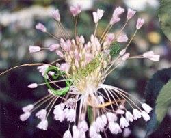 Семена Лук метельчатый - 30 семян - многолетний лук с декоративными соцветиями-висюльками