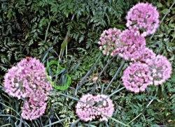 Семена почтой Лук-слизун «Грин» - 20 семян - многолетний лук на перо, слабоострый, с чесночным запахом
