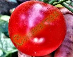 Семена томатов Флорида - 1 уп.-20 семян - очень компактный, очень ранний, до 50 г. Семенаград - семена почтой