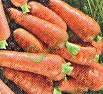 Семена моркови «Королева осени» - 1 чайн.ложка, один из лучших позднеспелых сортов. Корнеплоды конические, слегка заострённые.