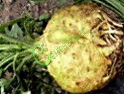 Семена Сельдерей корневой «Грибовский» - 30 семян, двухлетник, корнеплод, для поднятия тонуса и иммунитета
