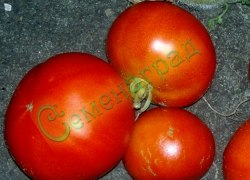 Семена томатов Флор Америка - низкорослый, очень ранний, до 200 г. Семенаград - семена почтой