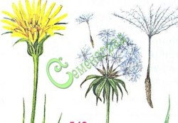 Семена козлобородника Козлобородник восточный, 1 уп.-15 семян, (у него семена-летучки с бородкой, из-за них он получил своё название) - двухлетник, в пищу используют молодые листья, стебли (салаты, порошок для заправки супов), а также молодые корни (отварные - для винегретов или как гарнир, жареные - как суррогат кофе). Семенаград - семена почтой