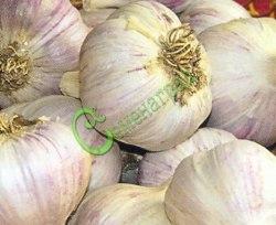"""Чеснок """"Юбилейный Грибовский"""" (бульбочки) - 20 бульбочек - самый распространённый в нашей стране озимый зимостойкий сорт"""