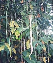 Семена почтой Вигна китайская - 20 семян, стручки достигают 0,7 м, одно растение даёт 3,5-4 кг зелёных лопаток, высота до 4 м