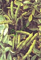 Семена бобов Русские черные и Белорусские белые - 3 семени, недозрелые семена содержат больше белка, чем зеленый горошек