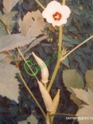 Семена почтой Бамия «Сона» - 5 семян, выращивают как овощное и пряновкусовое растение, в пищу идут молодые зеленые стручки
