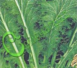 Семена горчицы Горчица листовая, салатная - обладает не только приятным горчичным вкусом, но и богата витаминами, незаменима в салатах и свежем виде. Очень скороспелое растение (от посева до уборки проходит 18-20 дней). Семенаград - семена почтой