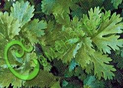 Семена кориандра Кориандр «Янтарь» - известная пряность. Новый среднеспелый сорт кориандра. В пищу используют листья, а семена добавляют для ароматизации кондитерских изделий, маринадов, пряных смесей типа аджики и хмели-сунели. Дает раннюю зелень после таяния снега. Семенаград - семена почтой