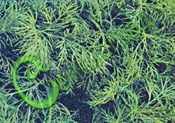 Семена укропа Укроп «Обильнолистный» - раннеспелый, ароматный, урожайный. Семенаград - семена почтой