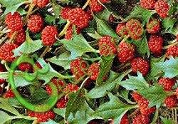 Семена шпината земляничного Шпинат земляничный (шпинат-малина), выведен в Австралии - используют одним из первых ранней весной для получения первой зелени, в пищу применяют ягоды и листья, богат витаминами, минеральными веществами, широко распространён в Европе. Семенаград - семена почтой