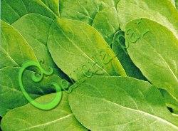 Семена шпината Шпинат исполинский - листья богаты белковыми веществами (содержат около 10 незаменимых аминокислот, богаты солями железа, фосфора, калия, кальция и марганца, меди и йода). Семенаград - семена почтой