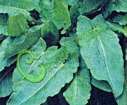 Семена щавеля Щавель Бельвильский - среднеранний морозтойкий сорт. Листья имеют приятный слабокислый вкус. Один из лучших сортов. Семенаград - семена почтой