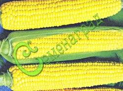 Семена кукурузы Кукуруза сахарная «Кубанская консервная 148», 1 уп.-5 семян - растение среднерослое (140-170 см), зерно жёлтое, сладкое, также для потребления в свежем и варёном виде. Семенаград - семена почтой