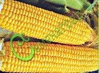 Семена кукурузы Кукуруза сахарная «Экспресс» - 1 уп.-5 семян, выведена в США - сладкие оранжевые зёрна, растения невысокие, ранняя, долго хранится, не теряя вкусовых качеств. Семенаград - семена почтой