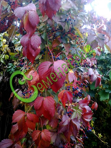 Семена винограда Виноград девичий пятилисточковый - 1 уп.-10 семян - многолетняя морозостойкая лиана высотой до 25 м для вертикального озеленения, семена сажать под зиму или стратифицировать 3 месяца. Семенаград - семена почтой