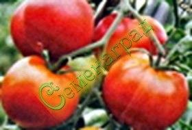 Семена томатов Арктический - среднерослый, до 120 г, ранний, устойчивый. Семенаград - семена почтой