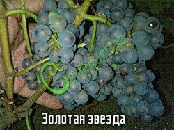 Семена винограда Виноград амурский «Золотая звезда» - ранний, морозостойкий, сладкий, тёмно-синий, винный сорт Семенаград - семена почтой