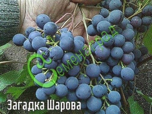 Семена винограда Виноград «Загадка Шарова» - очень морозостойкий (-35 С) и ранний виноград сибирской селекции, ягода темно-синяя, вкус сладкий, гармоничный, ягоды долго висят на кустах, не повреждаясь, семена стратифицировать или сажать под зиму, как и все сорта. Семенаград - семена почтой