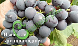 Семена Виноград «Изабелла крупноплодная» - 10 семян, ранне-среднего срока созревания, ягоды темно-синие, изабельного вкуса