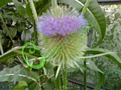 Семена ворсянки Ворсянка - 1 уп.-20 семян - двухлетник, оригинальный сухоцвет, плод - ворсовальная шишка. Семенаград - семена почтой