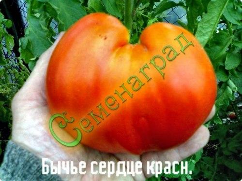 Семена томатов Бычье сердце красный - высокорослый, до 500 г, ранний. Семенаград - семена почтой