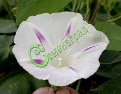 """Семена ипомеи Ипомея """"Большой Бланш"""", выведен во Франции - лиана с белыми цветами, отмеченными фиолетовыми звёздочками на лепестках, обильно и непрерывно цветущая всё лето до заморозков. Семенаград - семена почтой"""