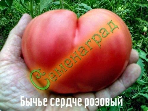 Семена томатов Бычье сердце розовый - среднерослый, до 500 г, ранний. Семенаград - семена почтой