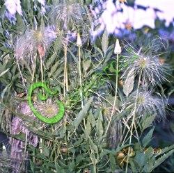 Семена клематиса Клематис тангутский (послецветие) - многолетняя, очень морозостойкая лиана, со временем мощная, обильно цветущая жёлтыми цветками диаметром 8 см, с пушистыми нарядными послецветиями, для создания настоящей живой стены в размере не менее 3 м, на зиму не требует съёма с вертикальной поверхности. Семенаград - семена почтой