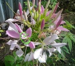 Семена Клеома колючая розовая - 30 семян, экзотический однолетник высотой до 1,5 м, обильно цветёт с июня до заморозков