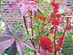 Семена Клещевина занзибарская - 3 семени - высотой до 2 м, отличается фиолетово-красными листьями