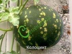 Семена Колоцинт - 10 семян, однолетняя лиана, дикий арбуз, несъедобные до 3-х кг плоды долго хранятся, декоративны