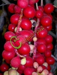 Семена лимонника Лимонник китайский - многолетняя плодовая и декоративная лиана до 5 м длиной, ягоды съедобные, полезные, повышают иммунитет, придают силы, очень декоративен осенью, семена сажать под зиму или стратифицироватьть 3 месяца. Семенаград - семена почтой