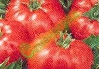 Семена томатов Вавилон - низкорослый, до 300 г, ранний. Семенаград - семена почтой