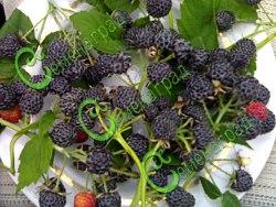 Семена Малина чёрная «Кумберленд» - 30 семян, корнями не расползается, вкус ягод напоминает чернику