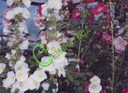 Семена Мальва китайская, 30 семян, многолетник, высотой до 2 м, махровые и простые цветки различных расцветок